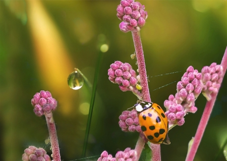 Ladybug - ladybug, green, macro, water drop, flower, insect, pink, gargarita
