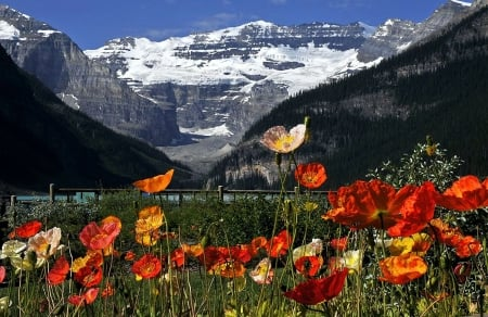 Poppies at Lake Louise, Banff - mountains, national park, canada, alberta, blossoms, spring