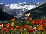 Poppies at Lake Louise, Banff