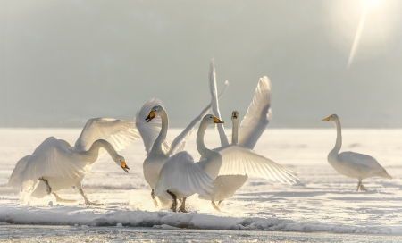 Swans - bird, pasari, dance, lebada, white, swan, iarna, winter, wings