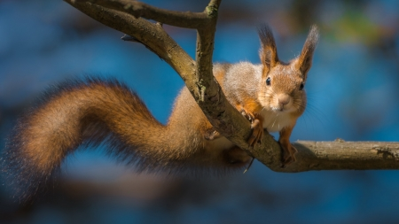 Squirrel - squirrel, tree, veverita, animal, cute