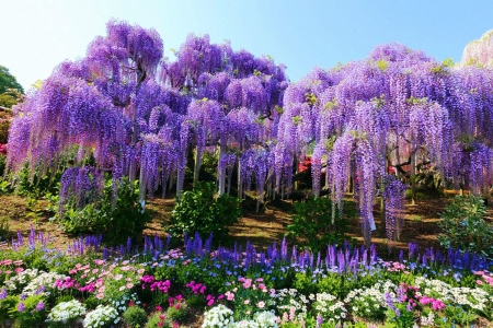 Wisteria in Ashikaga Flower Park, Japan - colors, blossoms, spring, blue