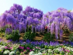 Wisteria in Ashikaga Flower Park, Japan