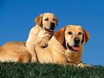 Labrador and puppy