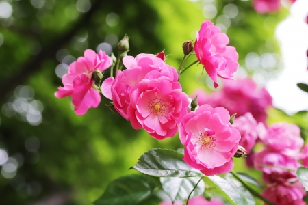 Roses - vara, rose, green, flower, summer, pink, trandafir