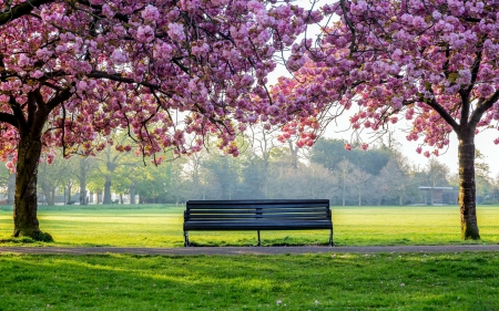 Cherry Blossom Park Bench - trees, landscapes, parks, bench, nature, cherry blossom