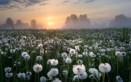 Dandelion Meadow at Sunrise