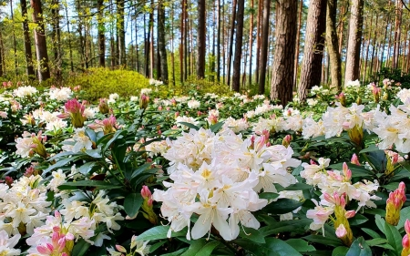 Rhododendrons in Latvia - flowers, Latvia, nature, rhododendrons