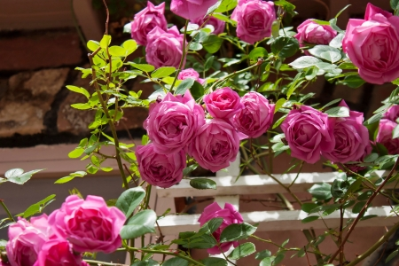 Pink garden roses - amazing, summer, garden, flowers, beautiful, pink, fragrance, roses, scent