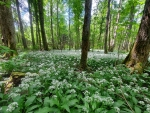 Forest Flowers in Latvia