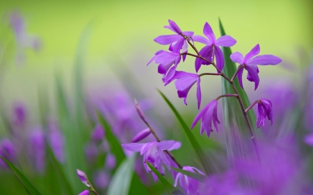 Purple bletilla - orchids, green, purple, HD, flowers, backgrounds, nature, betilla, photography
