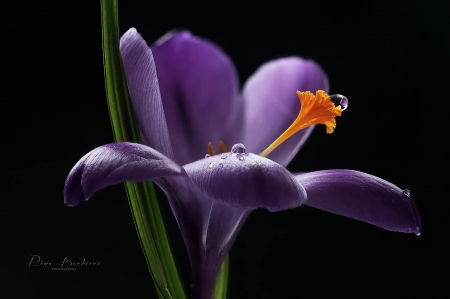 Nectar by Rina Barbieri - crocus, purple, water drop, black, flower, spring, rina barbieir, nectar, orange