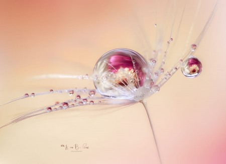 I belong to you by Rina Barbieri - seed, dandelion, drop, rina barbieri, water drops, macro, pink