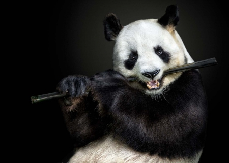 The Flute Master by Pedro Jarque Krebs - panda, cute, instrument, black, bear, flute, white, pedro jarque krebs, animal