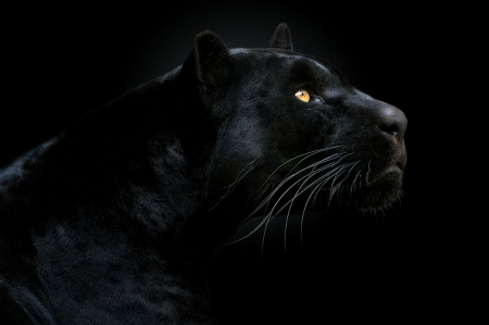Son of the Night by Pedro Jarque Krebs - animal, pedro jarque krebs, face, jaguar, panther, pisici, cat