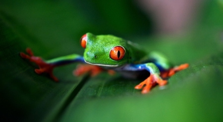 Red eyed frog - cute, frog, wild, wildlife, nature, reptiles, animals, wild animals, wallpaper