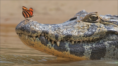 :) - insect, orange, butterfly, crocodile