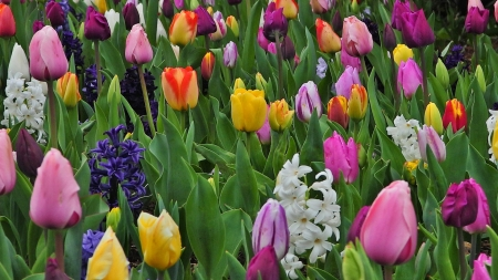Rainbow of the tulips - farm, colors, wonderful, tulips