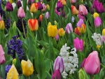 Rainbow of the tulips
