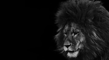 Black And White Lion Cats Animals Background Wallpapers On Desktop Nexus Image 2561359