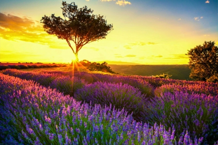 Provence, France - sunset, tree, lavender, sky, colors