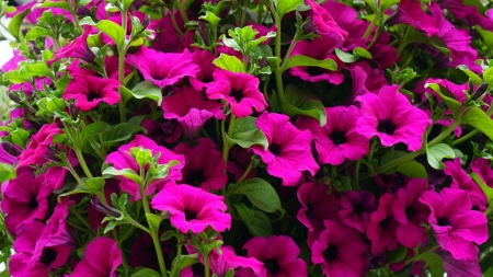Petunias - petunias, many, pretty, HD, cerise, 4K, photography, flowers, garden, nature, pink, blooms