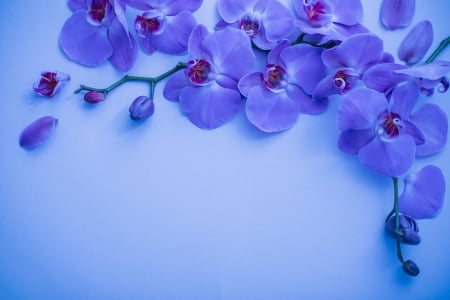 Orchids - flower, orchid, blue, card, pink