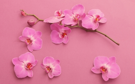 Orchids - flower, pink, card, orchid