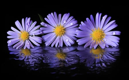 Purple flowers - Purple, Reflection, Petals, Aster