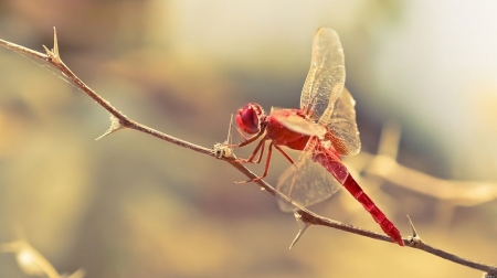 Red dragonfly - wildlife, nature, insects, wild animals, animals, wallpaper, wild, macrophotography, macro, dragonfly
