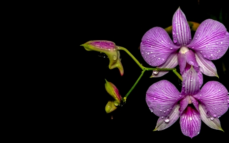 Beautiful flowers - Purple, Nature, Bud, Orchids