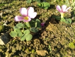 Cape Winter Ground cover weed flower