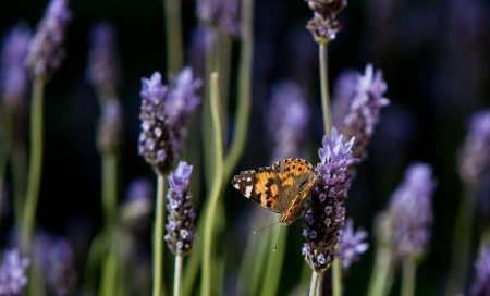 Butterfly and Lavender - flowers, nature, lavender, butterfly