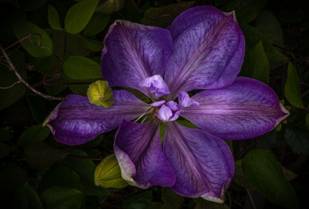 Purple Clematis - Purple, Leaves, Buds, Clematis