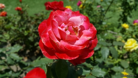 Roses for All - Flowers, Red, Roses, Green, California