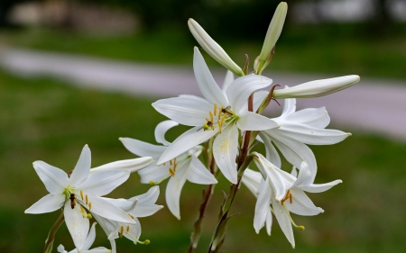 White Lily - flower, lilies, nature, white