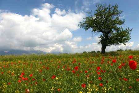 Meadow with Poppies - tree, clouds, poppies, meadow