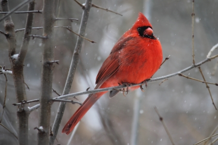Pretty cardinal bird - animals, pretty, red, photography, HD, birds, nature, branch