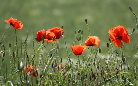 Red Poppies - flowers, red, meadow, poppies