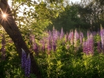 Lupines and Sunbeams