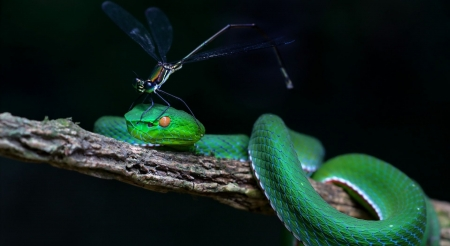 Green white-lipped pit viper - wildlife, nature, snake, animals, insects, wild animals, repiles, wallpaper, wild, viper