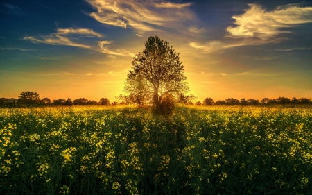 Golden Sunset - blossoms, flowers, tree, sky, clouds