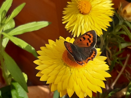 Small Copper - blossoms, flowers, insect, butterfly