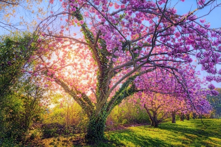 Spring Blossoms - shadows, sunrise, tree, purple, morning