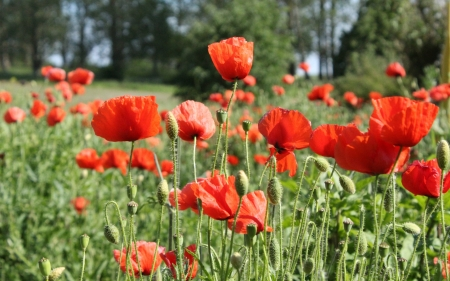 Red Poppies - red, flowers, nature, poppies