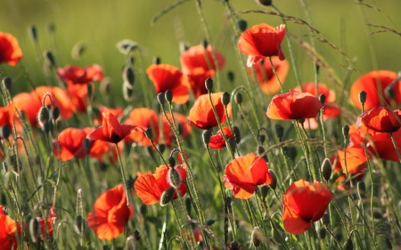 Red Poppies - flowers, red, nature, poppies