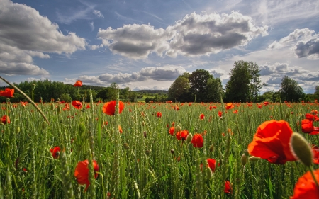 Field with Poppies - clouds, landscape, poppies, field