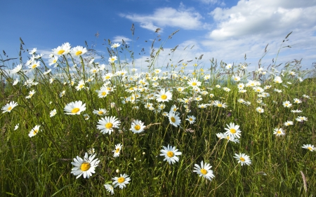 Daisy Meadow - daisies, nature, clouds, meadow