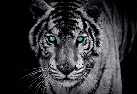 Black And White Tiger Cats Animals Background Wallpapers On Desktop Nexus Image 2562858