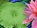 Lily Pad an Lotus